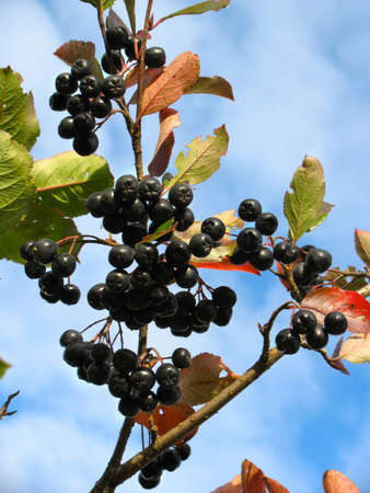 Black chokeberry (Aronia melanocarpa) - branch on a background of blue sky Stock Photo