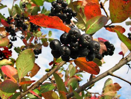Black chokeberry (Aronia melanocarpa) on a background of blue sky