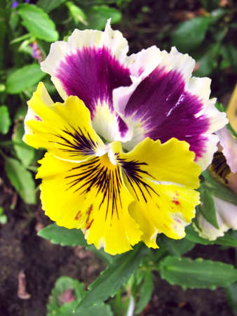 Close-up of multicolored yellow and purple pansy (viola) Stock Photo - 5771353
