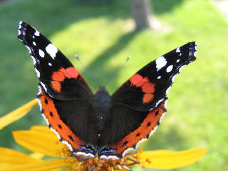 Red admiral butterfly (Vanessa Atalanta) on yellow flower