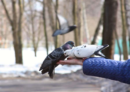 Doves feeding and balancing on woman's hand Stock Photo - 6123355