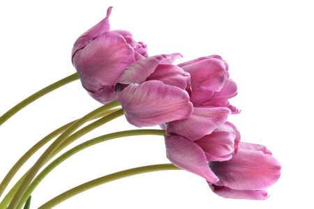Bouquet of purple tulips. Blue parrot variety. Isolated on white