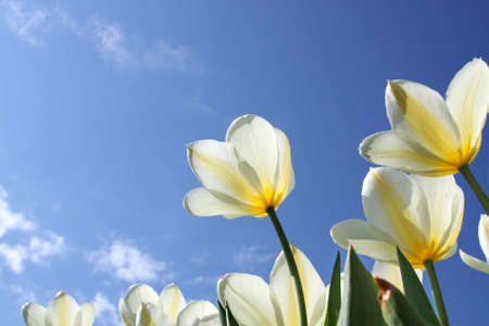 anniversary flower: Spring flowers - white tulips on the background of sky. Purissima variety