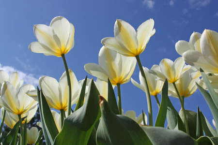 Spring flowers - white tulips on the background of sky. Purissima variety
