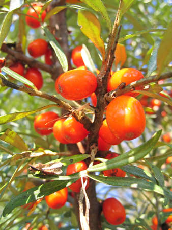 sallow: Sea buckthorn with juicy berries (also known as Hippophae rhamnoides or Sallow Thorn). Close-up Stock Photo