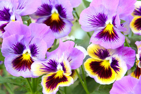 violas: Close-up of multicolored yellow and purple pansy (viola) Stock Photo