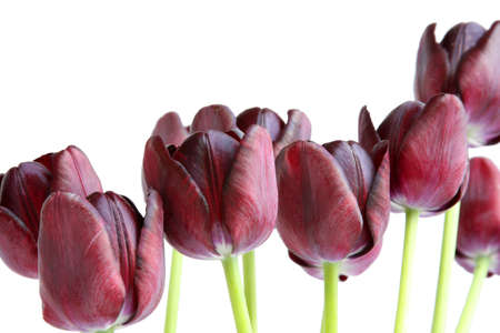 Bouquet of black tulips. Queen of Night variety. Isolated on white