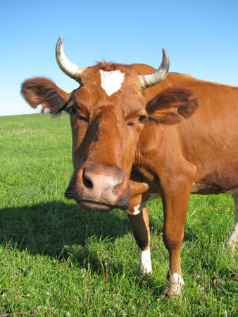Brown cow stares at the camera Stock Photo - 6976361