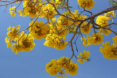 Yellow exotic flowers on a tree (Cochlospermum regium). Also known as Yellow Cotton Tree or Mart&Schrank Stock Photo