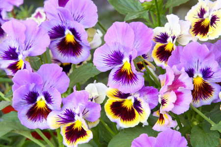 Close-up of multicolored yellow and purple pansy (viola) Stock Photo - 6976411