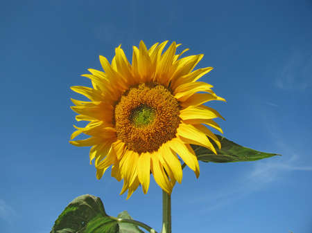 Beautiful yellow sunflower in the sun against blue sky Stock Photo - 7118466