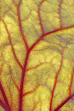 backlite: Backlite green leaf with red veins.  Close up