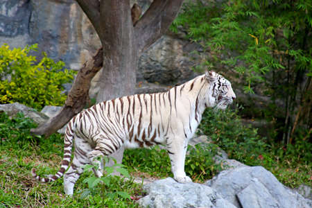 albino: White tiger  in Chiang Mai zoo in Thailand