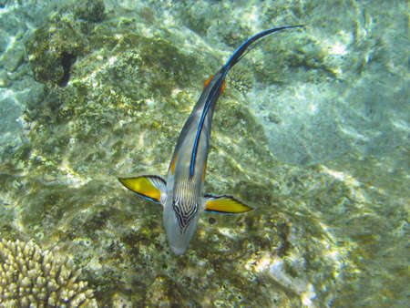 sohal: Tropical fish Sohal Surgeonfish (Acanthurus sohal) on a coral reef in Red sea