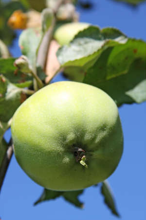 Ripening apple on tree branch photo