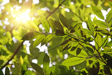 Morning sun shines through fresh leaves photo