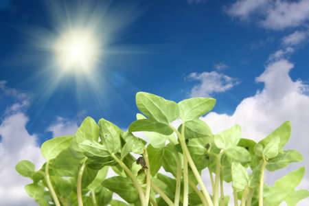 Young plants grow towards the sun, blue sky and clouds photo