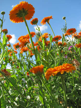 Marigold (Calendula) on the background of blue sky photo