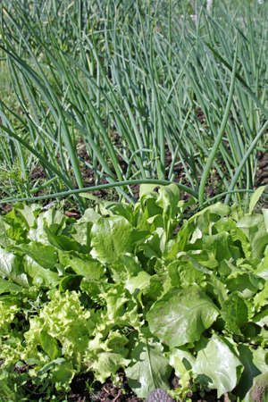 Lettuce and green onion growing in vegetable garden photo