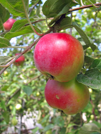 Ripe red apples on apple tree branch photo
