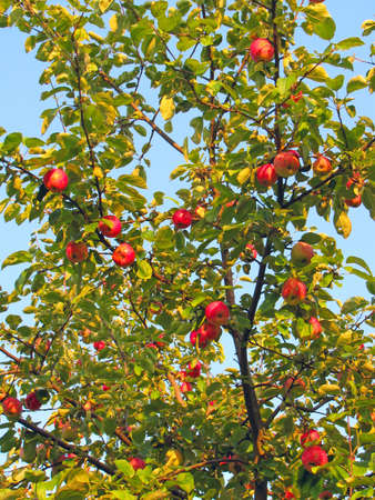 Red and yellow ripe apples on apple tree photo