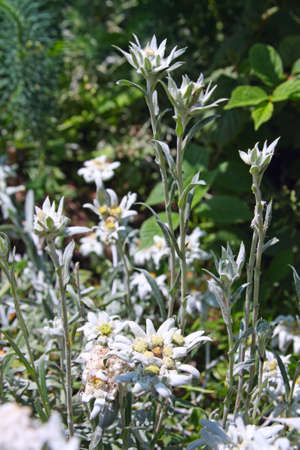 Rare alpine flower - Edelweiss or Leontopodium alpinum Stock Photo