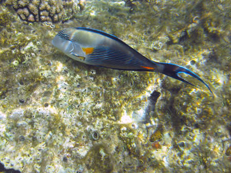 surgeonfish: Tropical fish Sohal Surgeonfish (Acanthurus sohal) on a coral reef in Red sea
