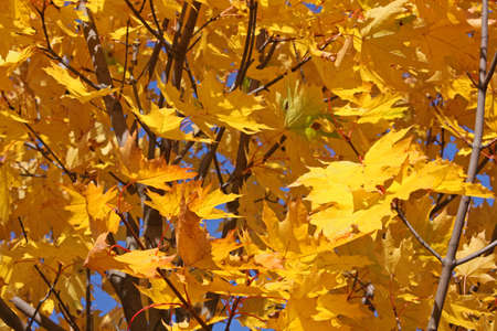 Bright yellow  fall foliage Stock Photo - 7795286