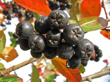 Branch of black chokeberry (Aronia melanocarpa)