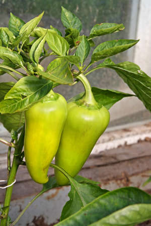 Green paprika in a greenhouse