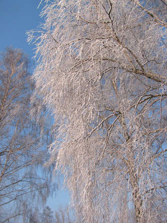 Hoar frost covering bare tree branches in sunny winters day photo