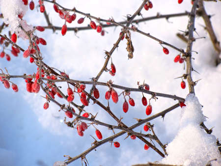 Barberries in the snow. Winter day photo