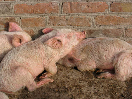 Small piglets sleeping at a farm Stock Photo - 8365401