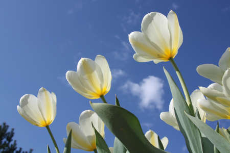 Spring flowers - white tulips on the background of sky. Purissima variety photo