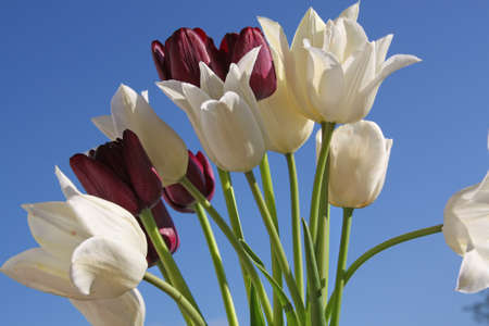 White and black tulips on the background of sky photo