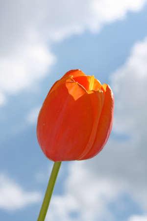 Orange tulip on the background of sky. Dordogne variety photo