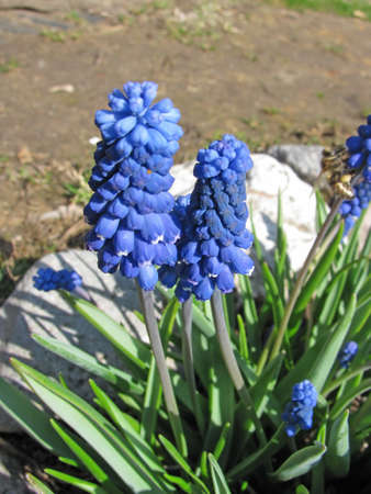 Bluebells (Grape Hyacinth, Muscari armeniacum)                             Stock Photo - 9152356