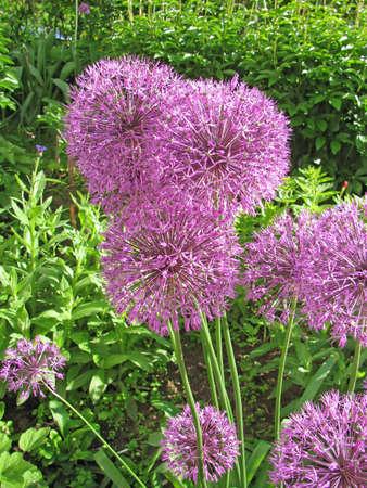 Allium flower                photo