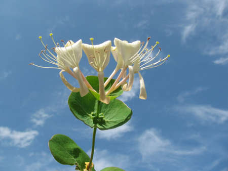 A Caprifolium ( Honeysuckle ) flower. On the background of sky Stock Photo