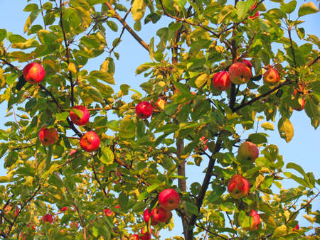 Red apples on apple tree branches photo