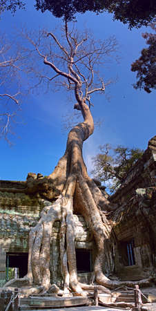 Banyan trees grow from the crumbling temple walls of the ancient Khmer city Angkor, Cambodia photo