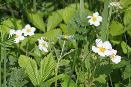 Close-up of wild strawberry flowers photo
