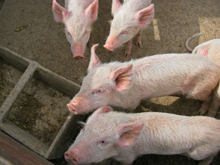 pig nose: Small piglets near feeder at a farm