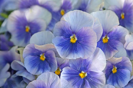 Close-up of  blue pansies  viola  photo