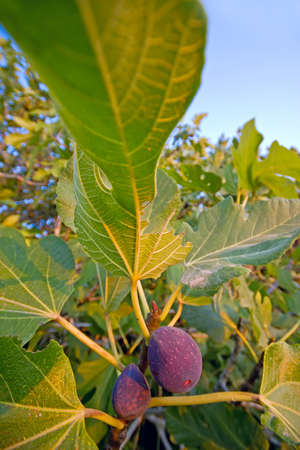purple fig: Fig tree  A branch with lush foliage and ripe purple figs Stock Photo