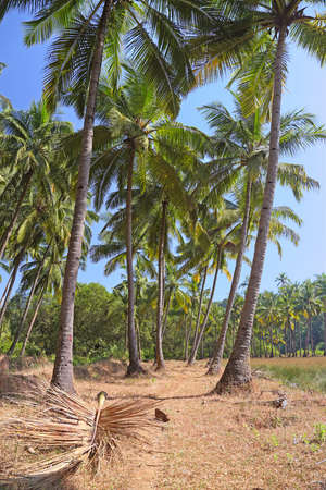 Palm grove in South Goa, India photo
