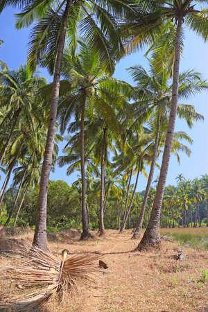 Palm grove in South Goa, India photo