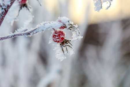 beautiful garden: Close-up of dog rose hips (berries) in the snow