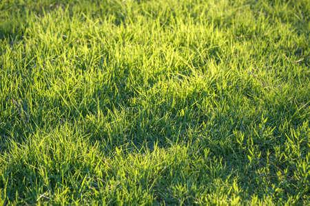 iluminado a contraluz: Antecedentes de retroiluminada fresca hierba verde con el sol. Fondo de fotograma completo. Poca profundidad de campo