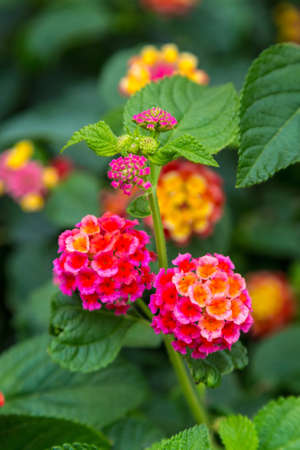 Pink and yellow lantana flowers at sunset. Verbenaceae lantana camara
